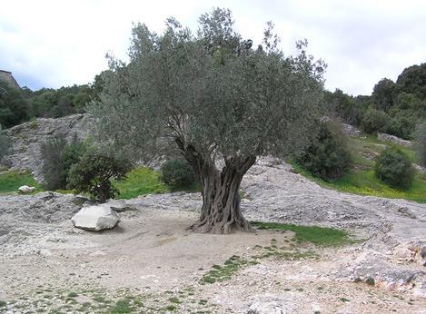 Olivier centenaire arbre de mythologie morbihan bretagne oliviers centenaires - Psylle de l olivier ...