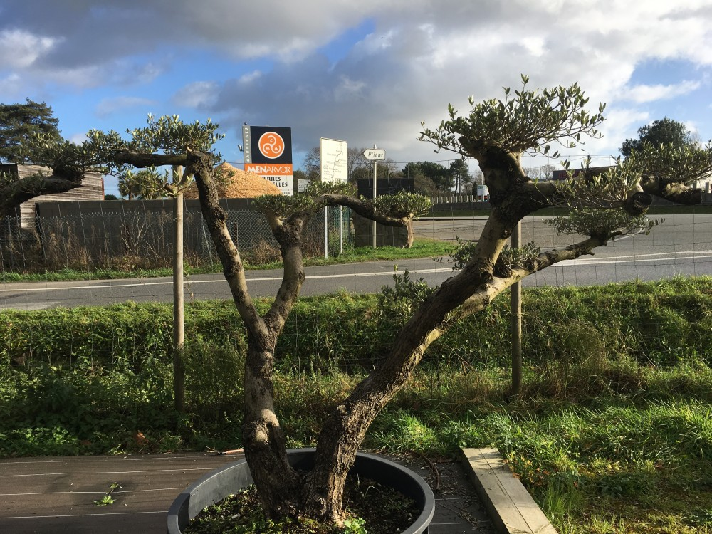 olivier ornemental achetez un olivier d coratif en bonsai plateau ou haute tige. Black Bedroom Furniture Sets. Home Design Ideas