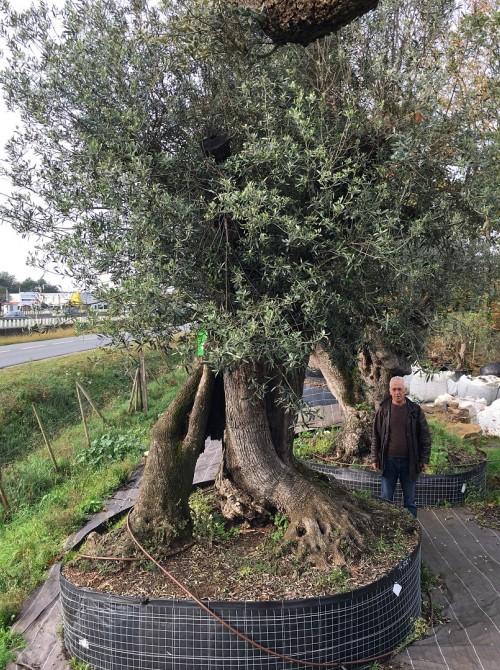 Olivier d'Exception et monumental olivier millénaire séculaire