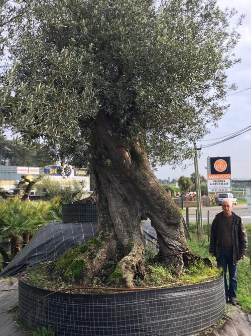 Olivier d'Exception et monumental oliviers millénaires