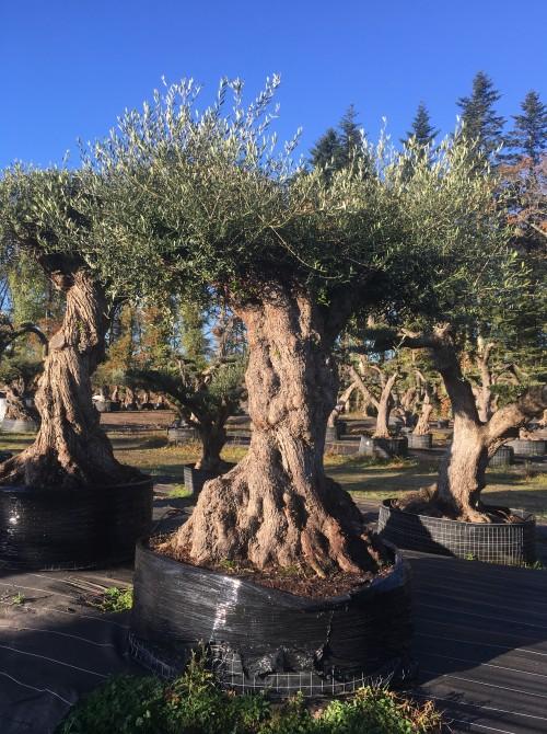 Oliviers Multi-centenaires & Millénaires oliviers multicentenaires