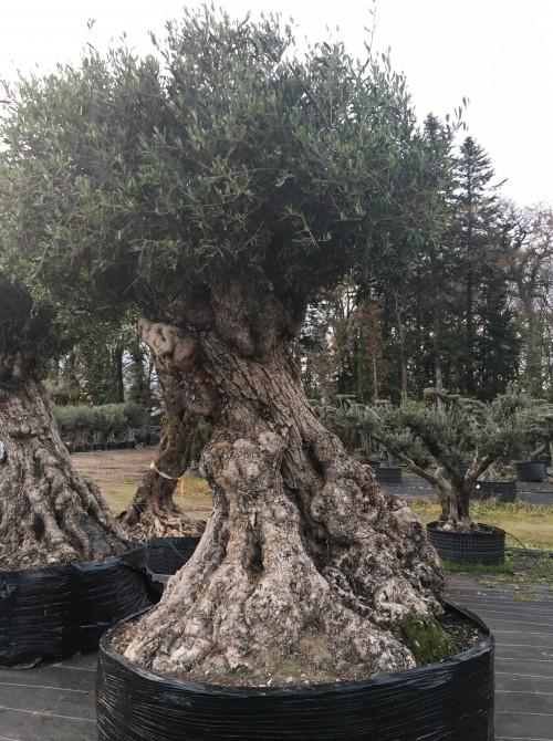 Oliviers Multi-centenaires & Millénaires olivier multi-centenaires vannes