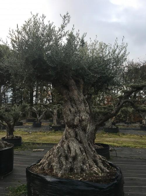 Oliviers Multi-centenaires & Millénaires olivier muticentenaire