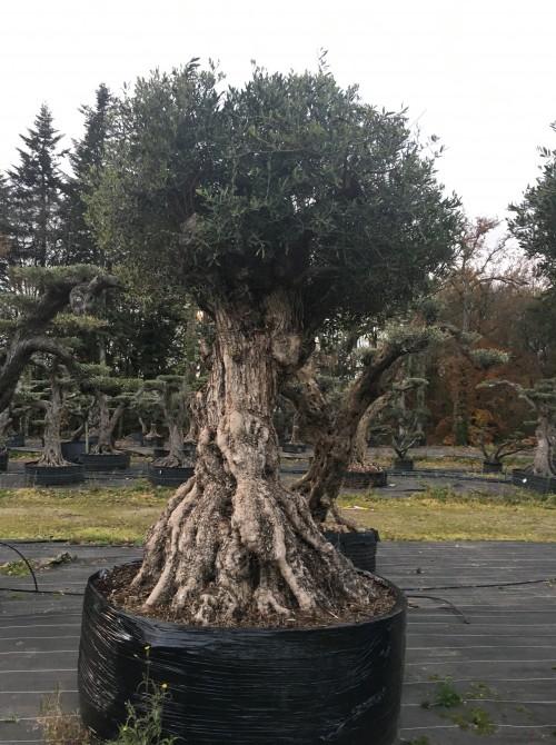 Oliviers Multi-centenaires & Millénaires olivier sevillan