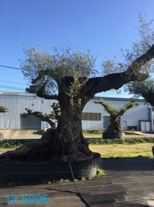 Olivier d'Exception et monumental olivier millénaire forme libre