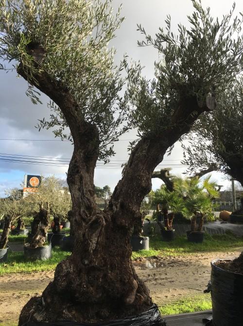 Oliviers Centenaires Traditionnels olivier Farga double tronc