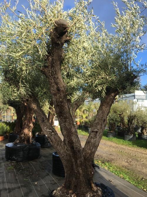 Oliviers Centenaires Traditionnels olivier farga