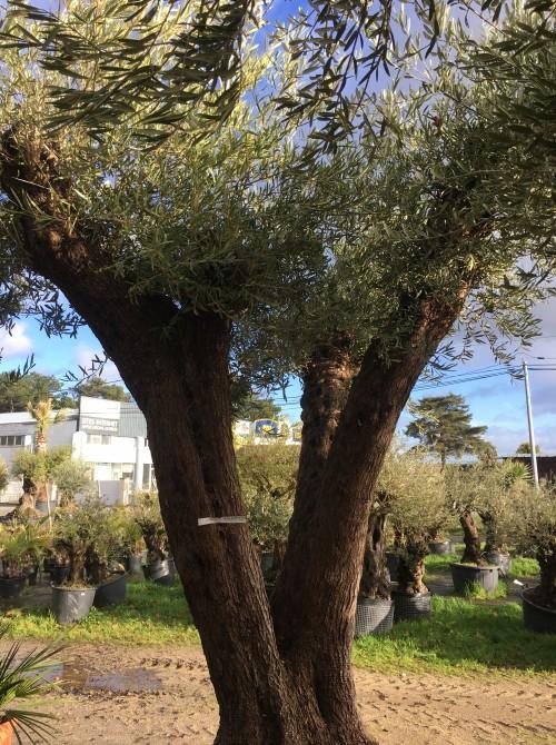 Oliviers Centenaires Traditionnels oliviers centenaires jardin ou terrasse