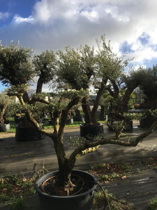 oliviers plateau ou olivier nuage niwaki Olivier Arberquina taille Niwaki