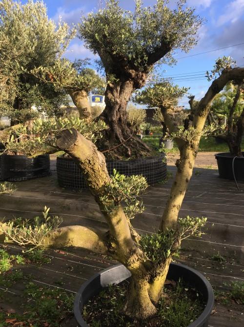 oliviers plateau ou olivier nuage niwaki olivier  plateau petit prix