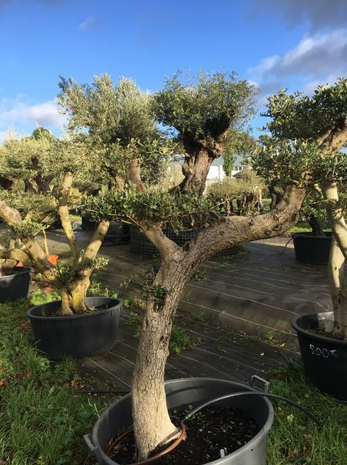 oliviers plateau ou olivier nuage niwaki olivier  nuage pas cher