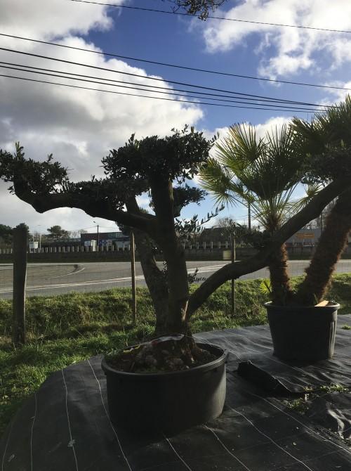 oliviers plateau ou olivier nuage niwaki olivier pour orner votre jardin