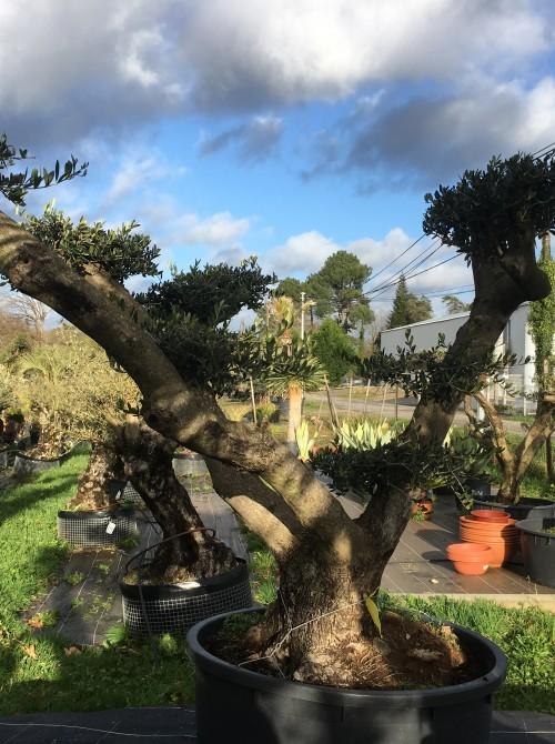 oliviers plateau ou olivier nuage niwaki olivierd'ornement taillé en nuage - on l'appelle aussi olivier niwaki