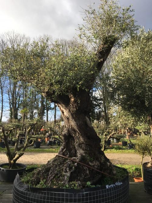 Oliviers Multi-centenaires & Millénaires olivier variété Lechin