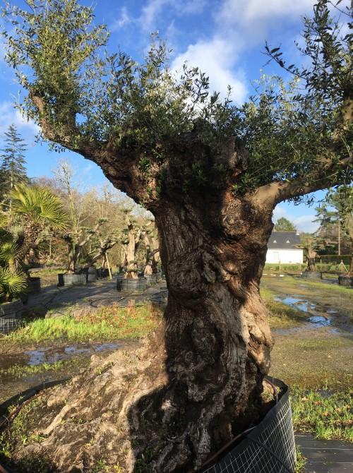 Olivier décoratif et d'ornement olivier lechin d'exception pour l'ornement de votre jardin