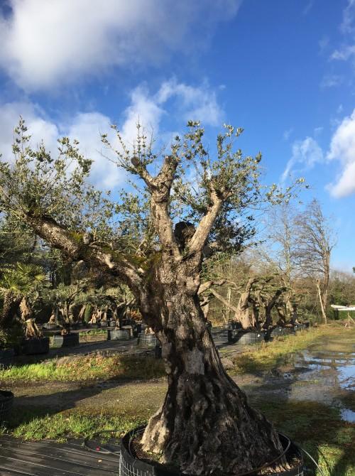 Olivier haute tige olivier tronc d 1mètre80