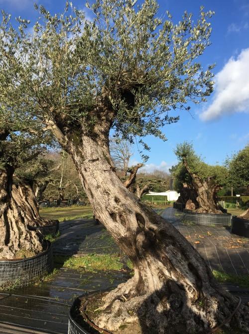 Oliviers Multi-centenaires & Millénaires olivier 250 ans tronc 1mètre 90