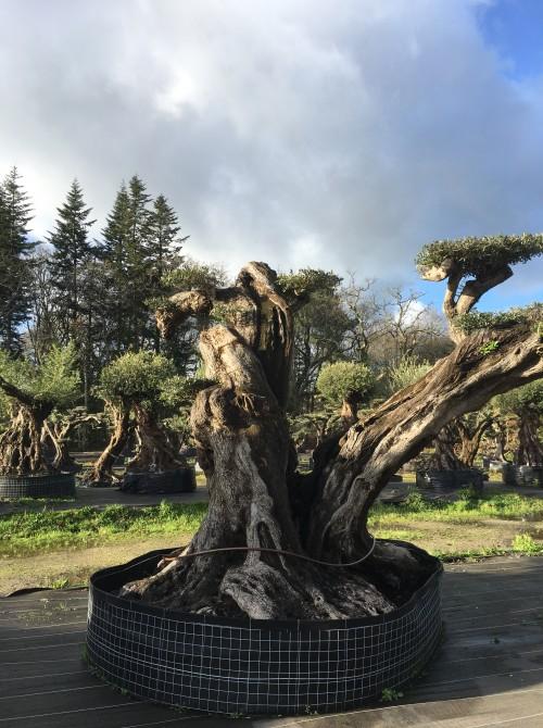 Oliviers Multi-centenaires & Millénaires olivier sculpture milénaire