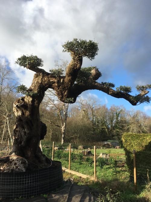 Olivier d'Exception et monumental olivier d'exception plateau paris