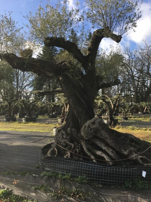 Olivier d'Exception et monumental olivier séculaire rare sur le marché