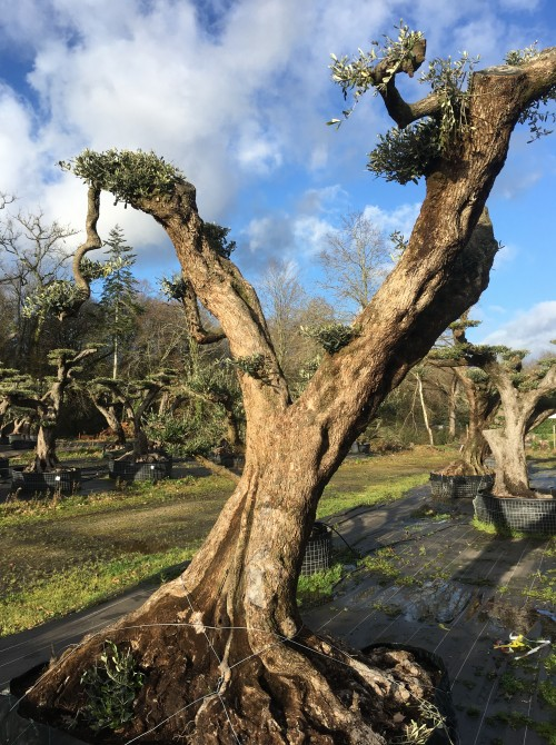oliviers plateau ou olivier nuage niwaki Achat olivier centenaire taillé en nuage - Montpellier