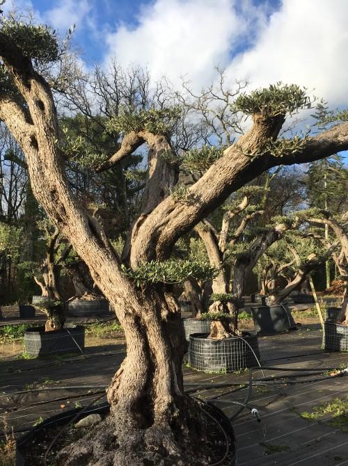 oliviers plateau ou olivier nuage niwaki olivier lyon