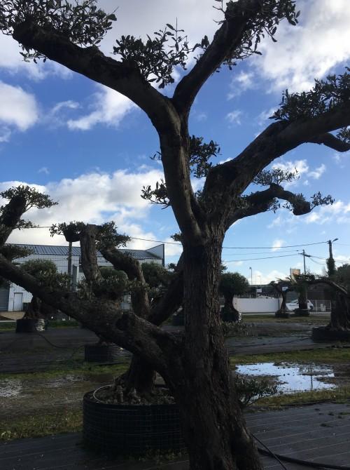 oliviers plateau ou olivier nuage niwaki Olivier nuage Niwaki de 100 ans