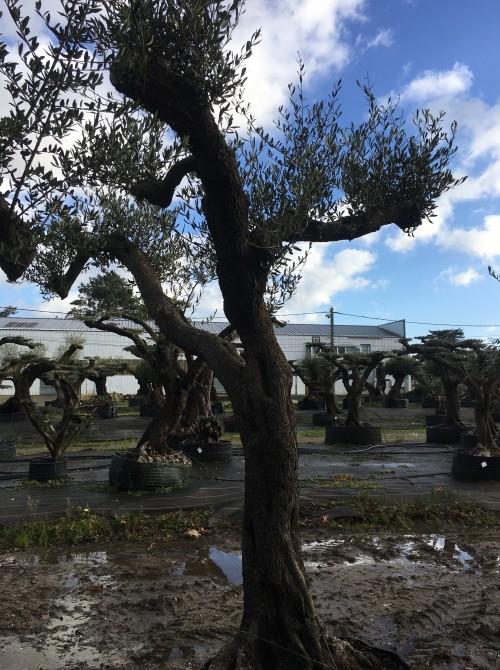 oliviers plateau ou olivier nuage niwaki Olivier centenaire Arberquina forme libre ou taille plateau