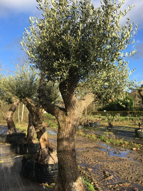 Oliviers Centenaires Traditionnels vente d'olivier Rennes