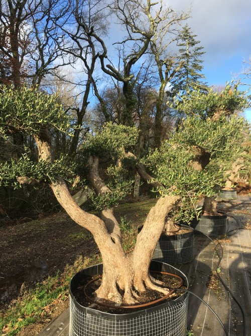oliviers plateau ou olivier nuage niwaki oliviers multibranches