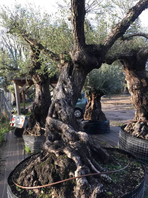 Oliviers Multi-centenaires & Millénaires Achat d'olivier ancien multi-centenaire