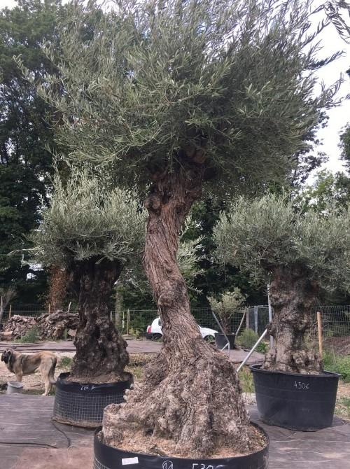 Oliviers Centenaires Traditionnels olivier Nanterre vendu