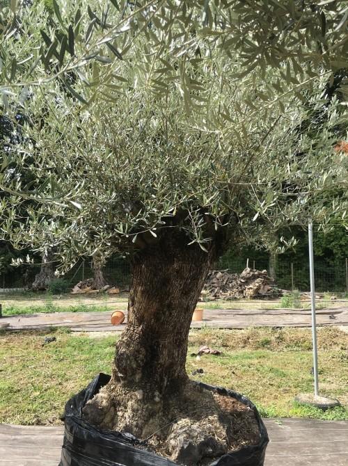 Oliviers Centenaires Traditionnels olivier Aulnais-sous bois