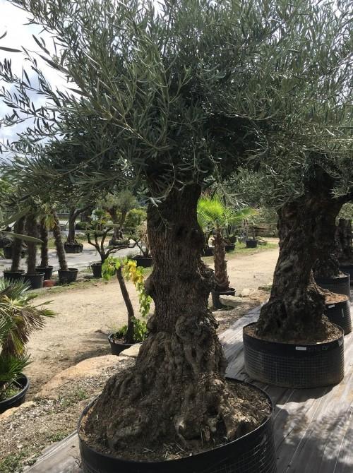 Oliviers Centenaires Traditionnels olivier Ivry sur Seine