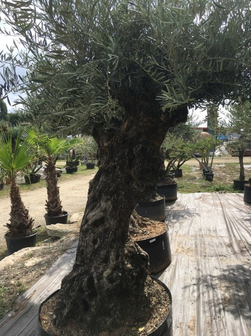 Oliviers Centenaires Traditionnels olivier Créteil