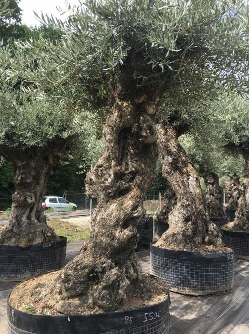 Oliviers Centenaires Traditionnels olivier région parisienne