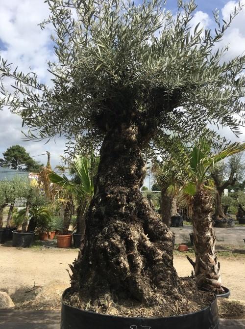 Oliviers Centenaires Traditionnels olivier centenaire