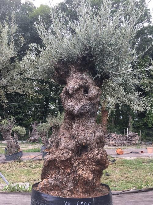 Oliviers Centenaires Traditionnels olivier Zinesi