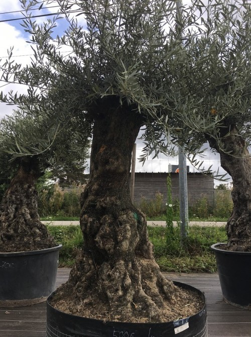 Oliviers Centenaires Traditionnels olivier Dourdan