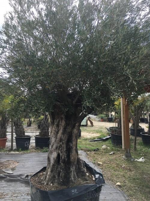 Oliviers Centenaires Traditionnels olivier ref 221 vendu