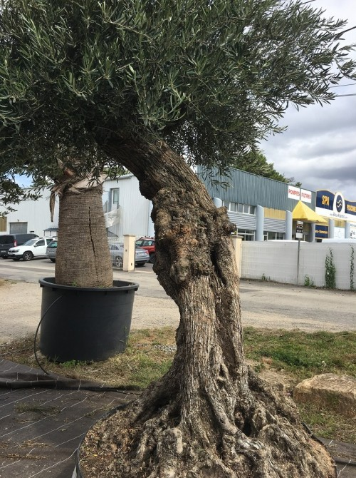 Olivier haute tige olivier ref 301