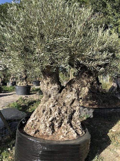 Oliviers Multi-centenaires & Millénaires olivier double
