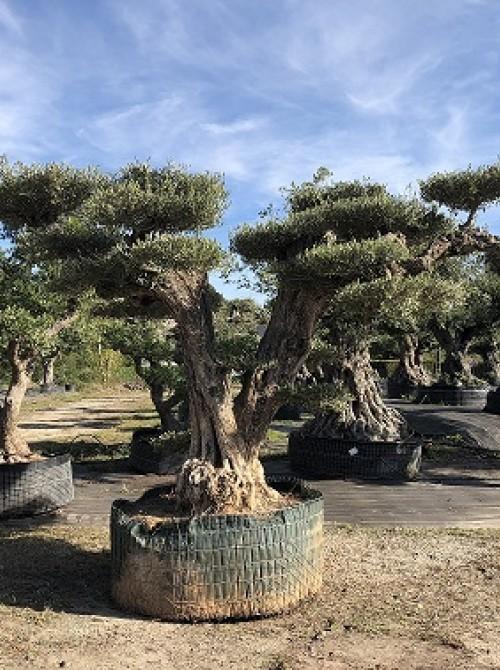 oliviers plateau ou olivier nuage niwaki olivier nuage magnifique