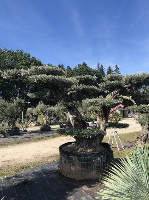 oliviers plateau ou olivier nuage niwaki olivier avec de jolis plateaux