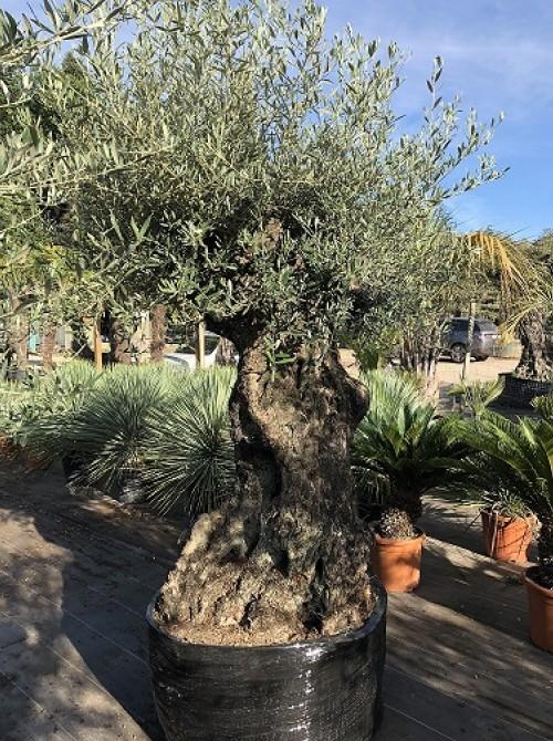 Olivier décoratif et d'ornement olivier 114