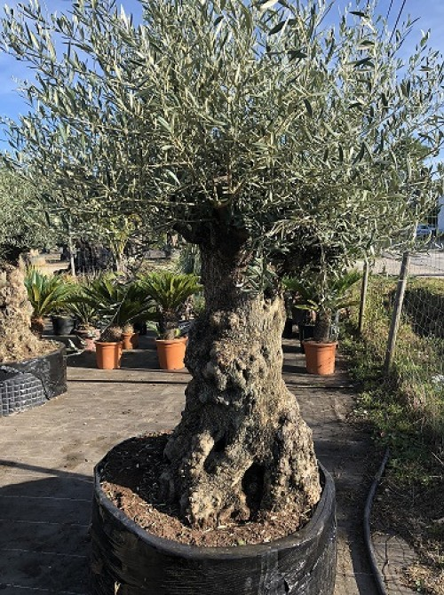 Oliviers Centenaires Traditionnels olivier 119 vendu