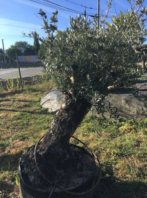 Oliviers en destockage / olivier pas cher olivier A