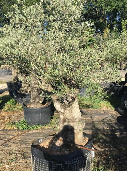 Oliviers en destockage / olivier pas cher olivier C