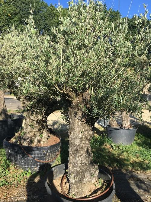 Oliviers en destockage / olivier pas cher olivier D
