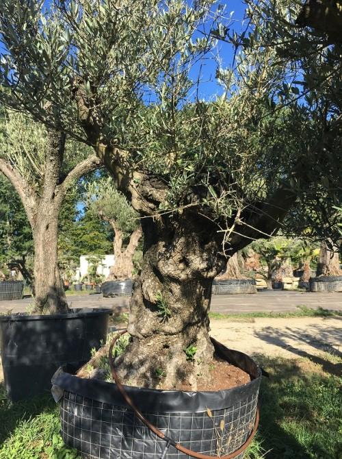 Oliviers en destockage / olivier pas cher olivier E
